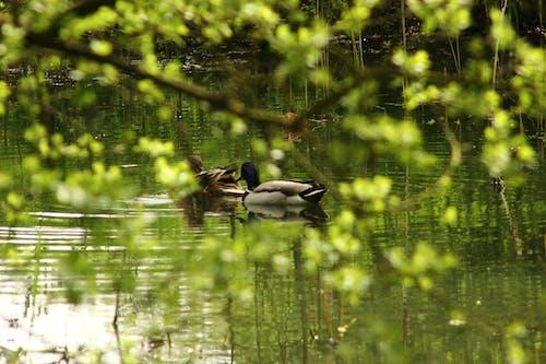 Free stock photo of ducks, green, pond