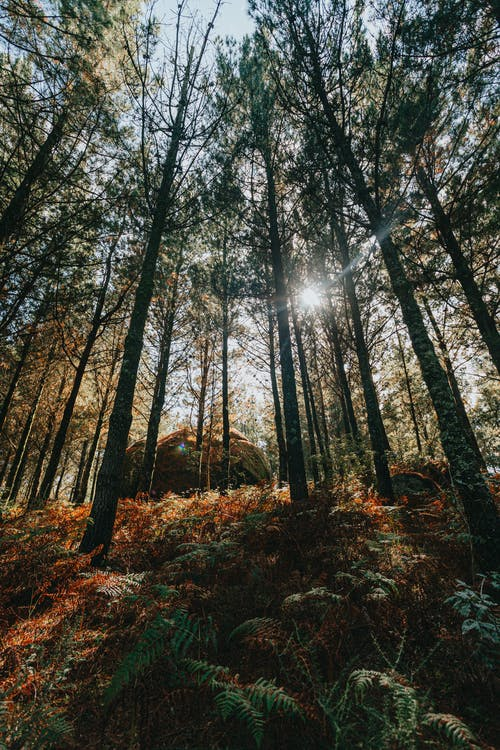 From below of tall green trees growing in woodland with colorful fallen leaves on ground and sun shining through crowns of plants