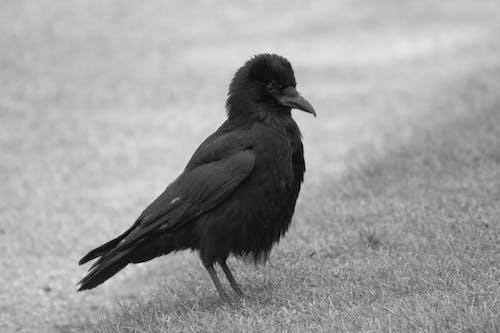 烏鴉, 羽毛, 黑與白 的 免费素材照片