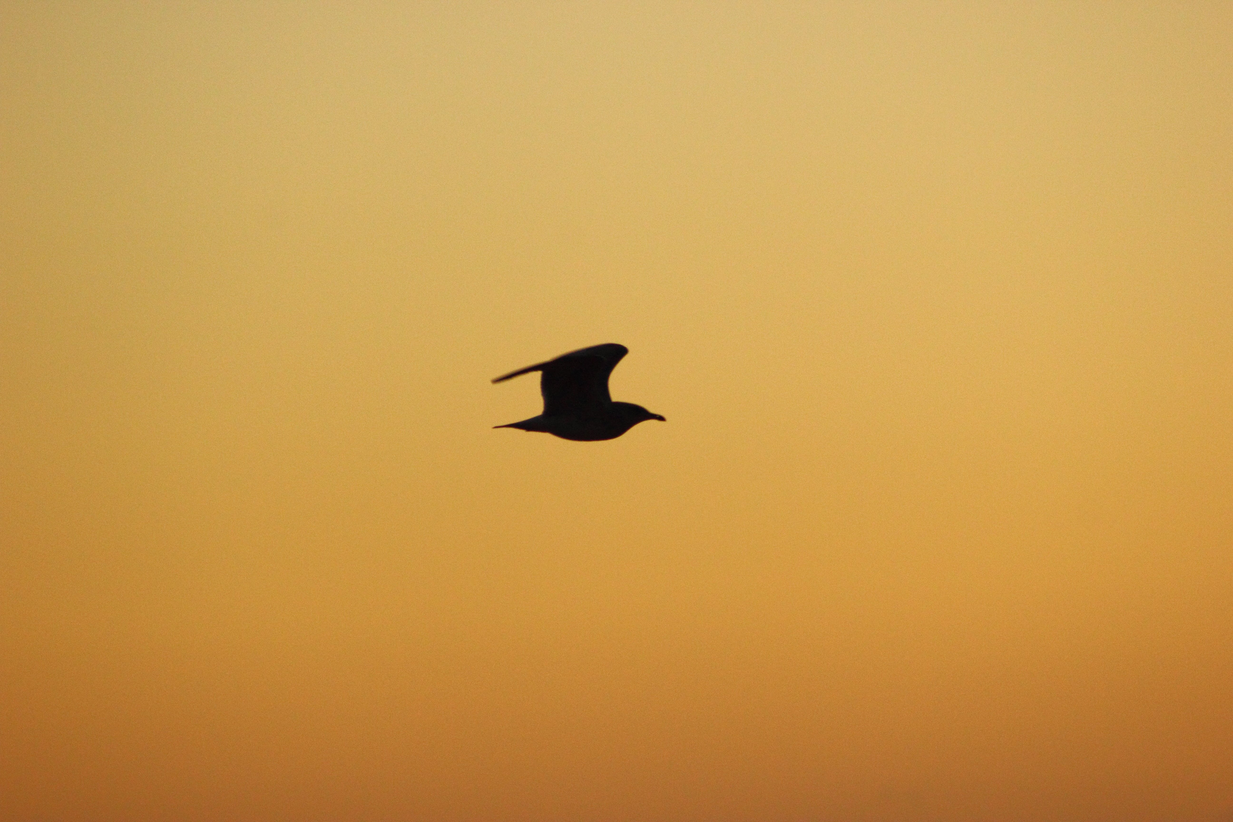 Free stock photo of sky, bird, sunrise, silhouette