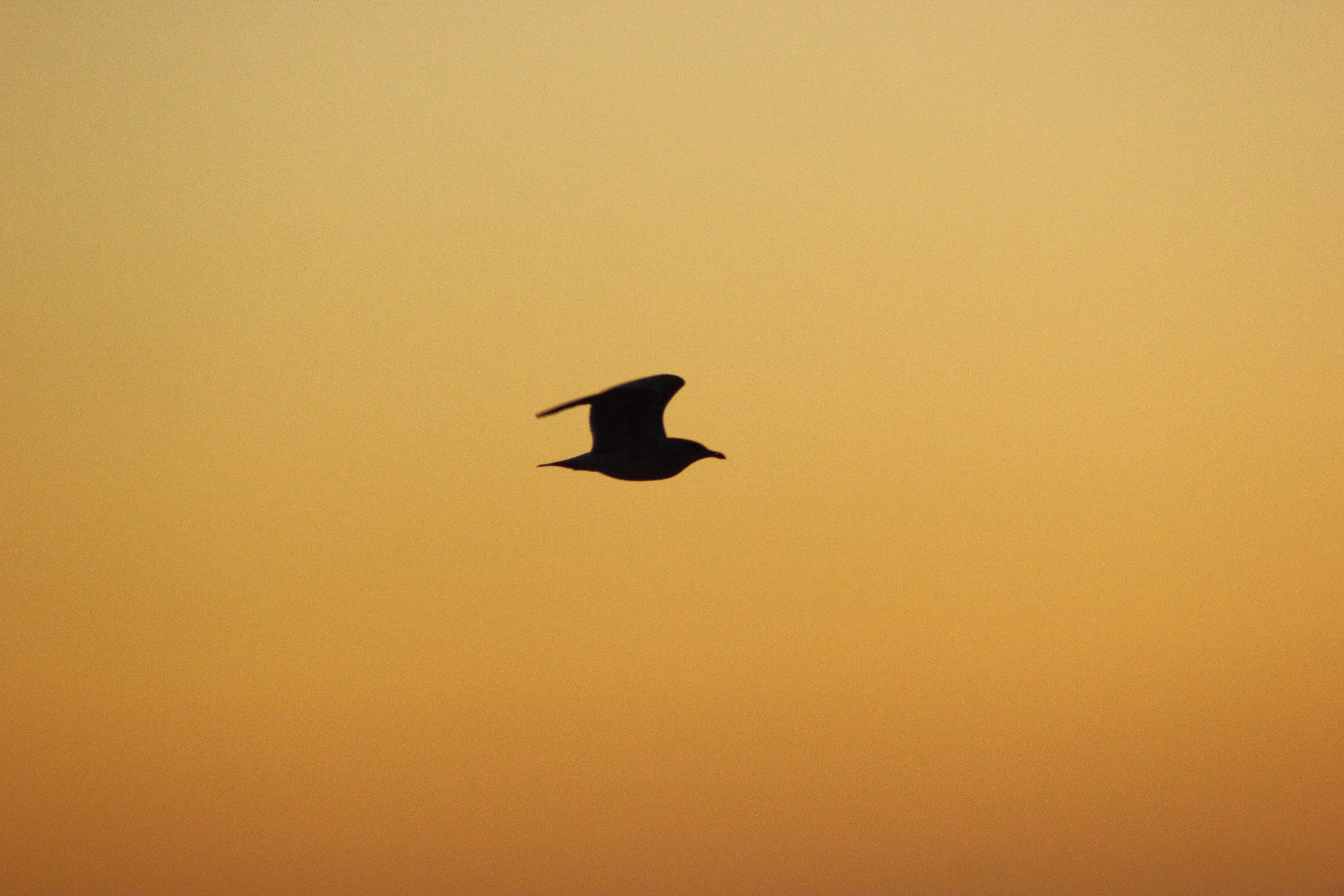 bird, seagull, silhouette