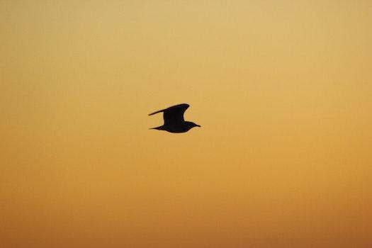 Free stock photo of sky, bird, sunrise, silhouette