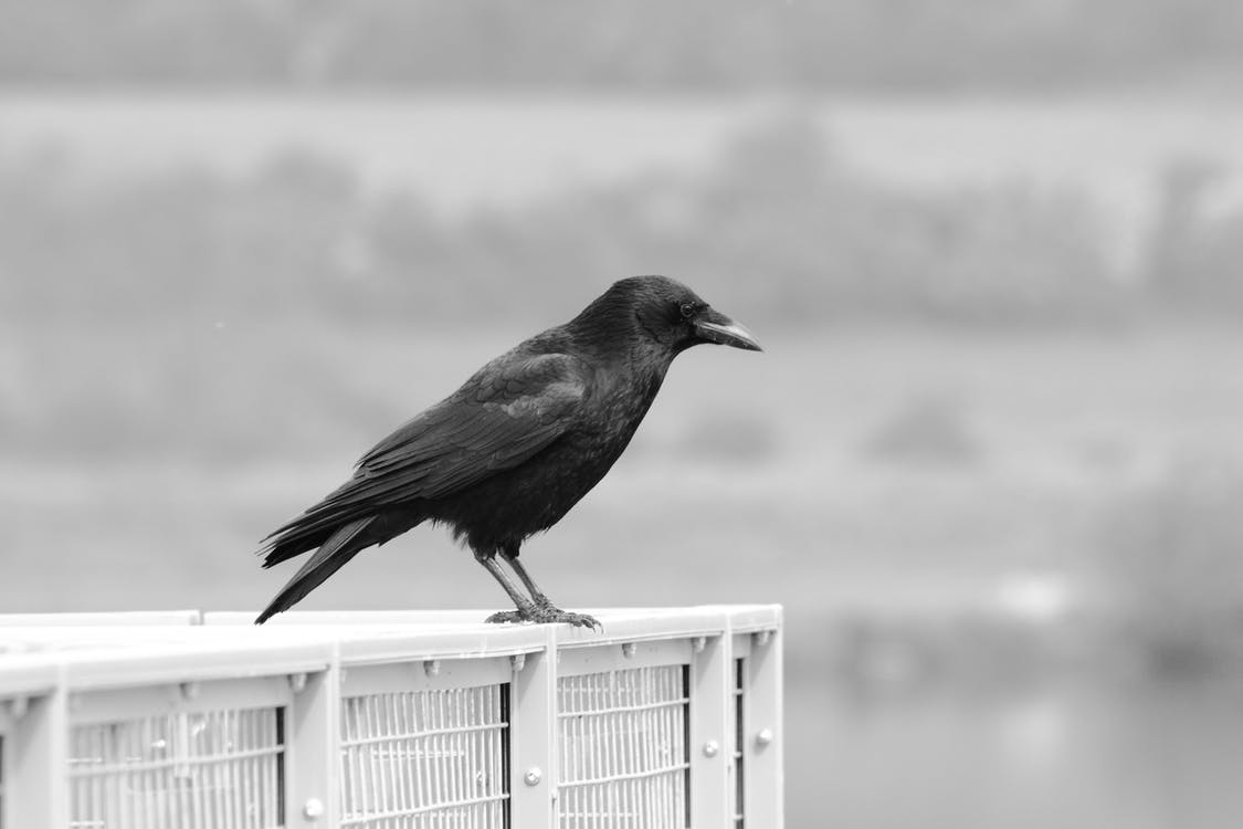 Shallow Focus of Crow