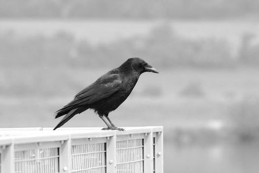 Free stock photo of black-and-white, bird, animal, beak