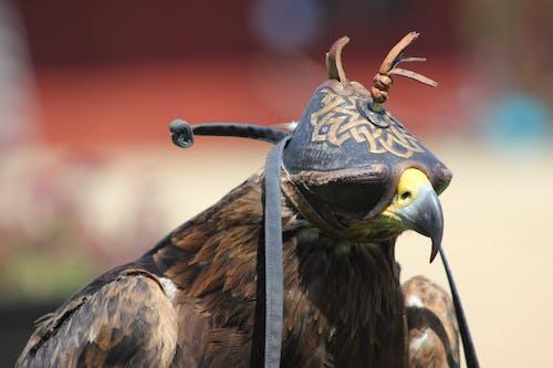 Ingyenes stockfotó állat, ragadozó madár, sólyom, tollak témában