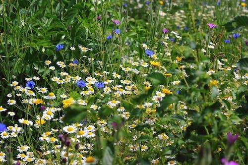 Free stock photo of flowers, summer, wildflower