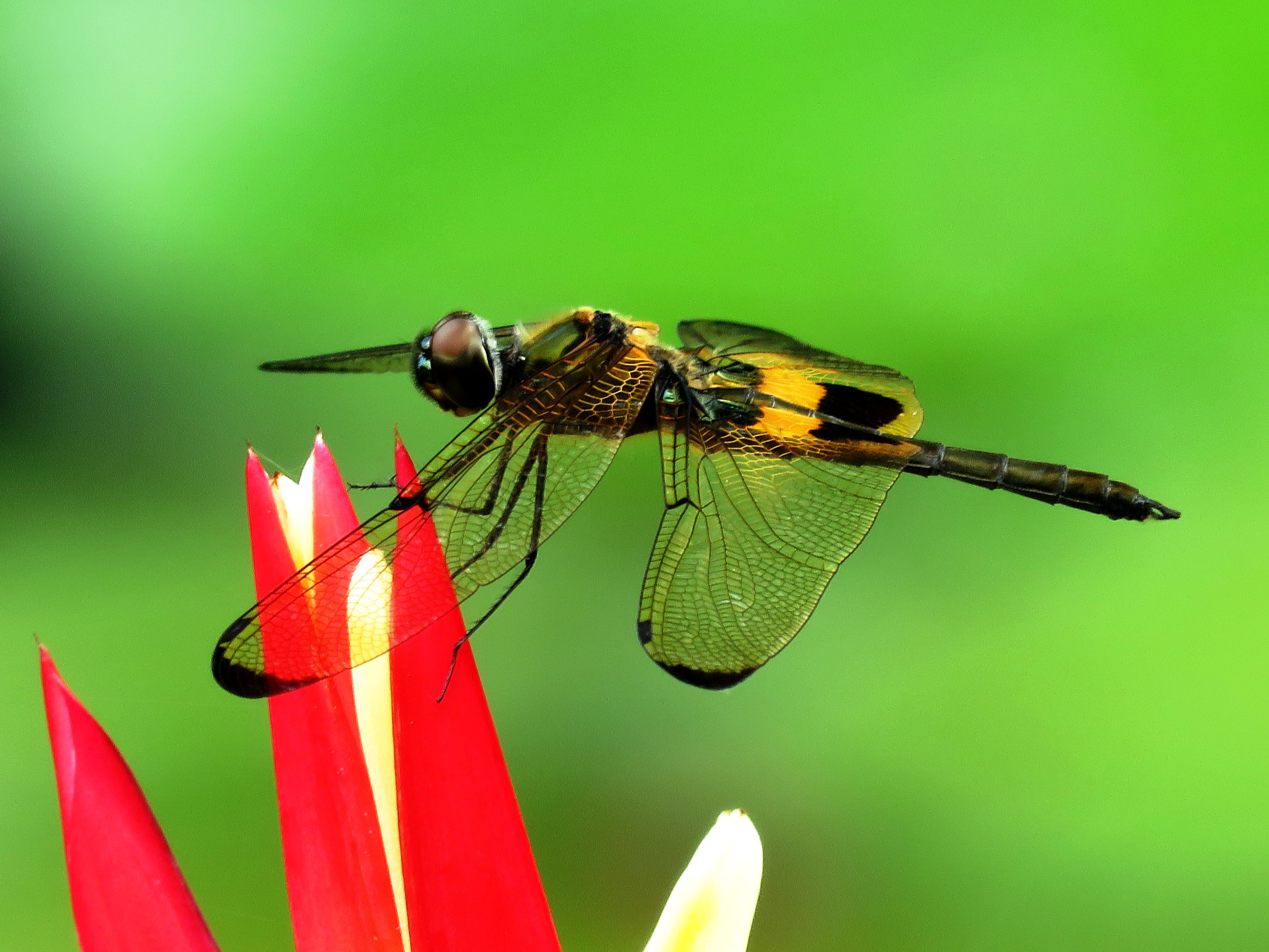 Yellow Dragonfly on Red Flower