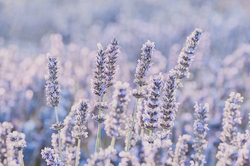 Purple gentle fragrant flowers of lavender on blurred background of meadow in daytime in summer