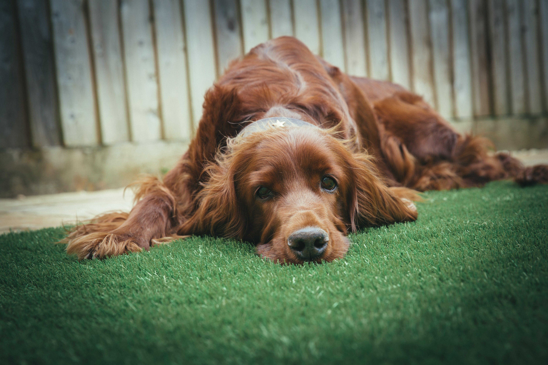 Adult Dark Golden Retriever Lying on Grass