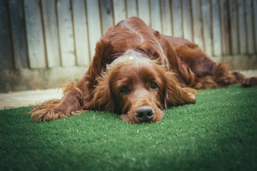 Adult Dark Golden Retriever Lying on Grass