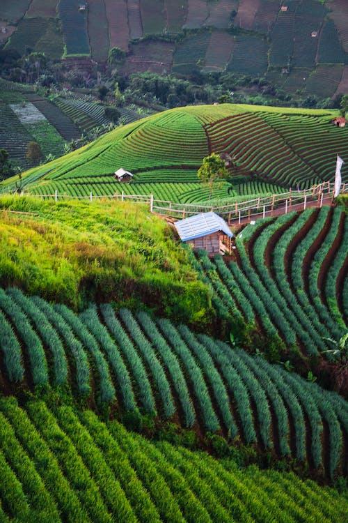 Free stock photo of farm, green