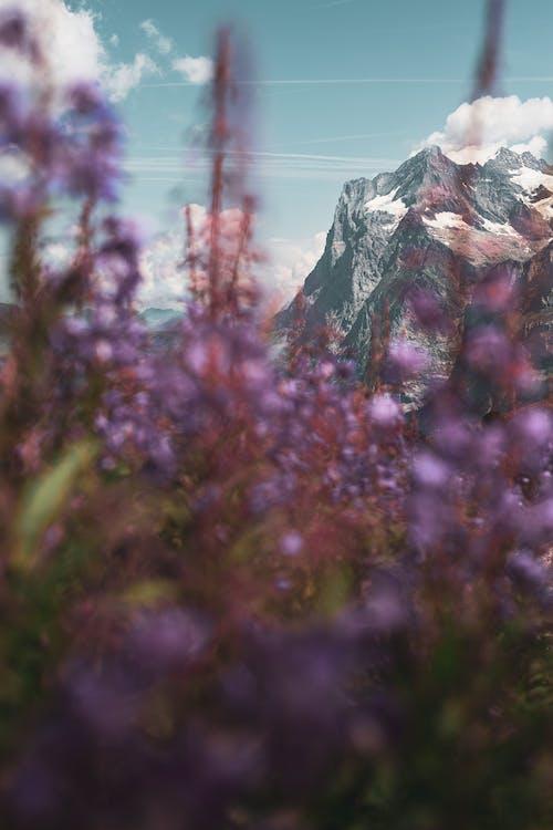 Free stock photo of alps, flowers, mountain
