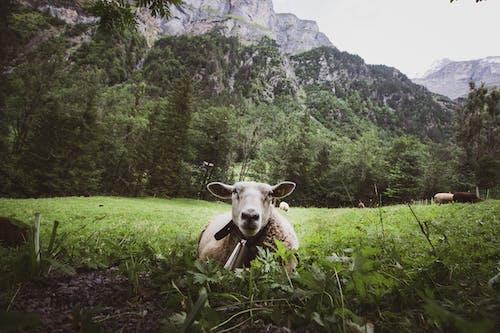 White Sheep on Green Grass Field Near Mountain
