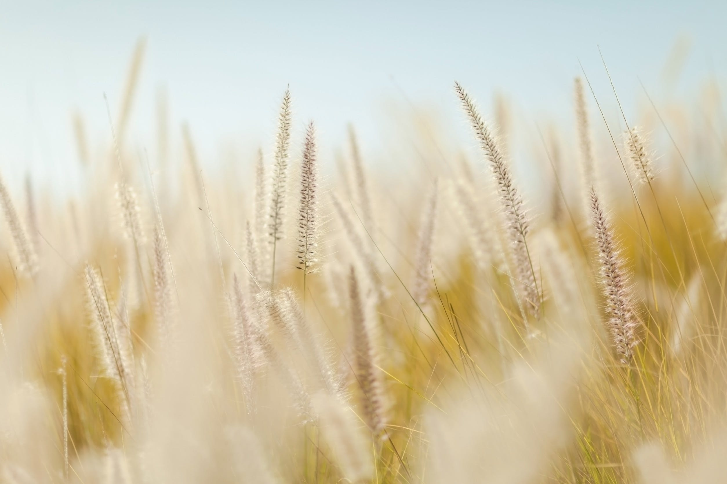 Free stock photo of field, agriculture, plants, wheat