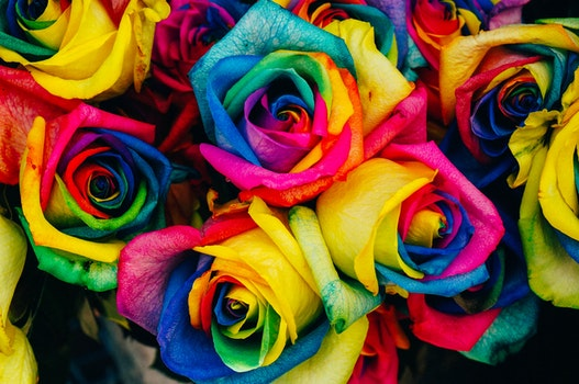 Yellow Blue Pink Rose Flowers