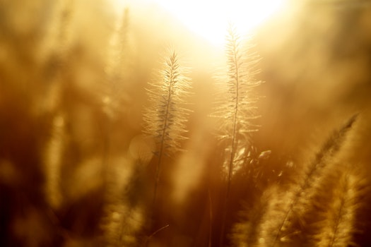 Free stock photo of field, sunshine, morning, corn