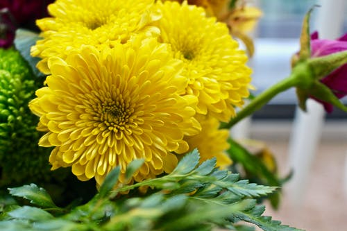 คลังภาพถ่ายฟรี ของ การตกแต่ง, กำลังบาน, ช่อดอกไม้, ดอกเบญจมาศ