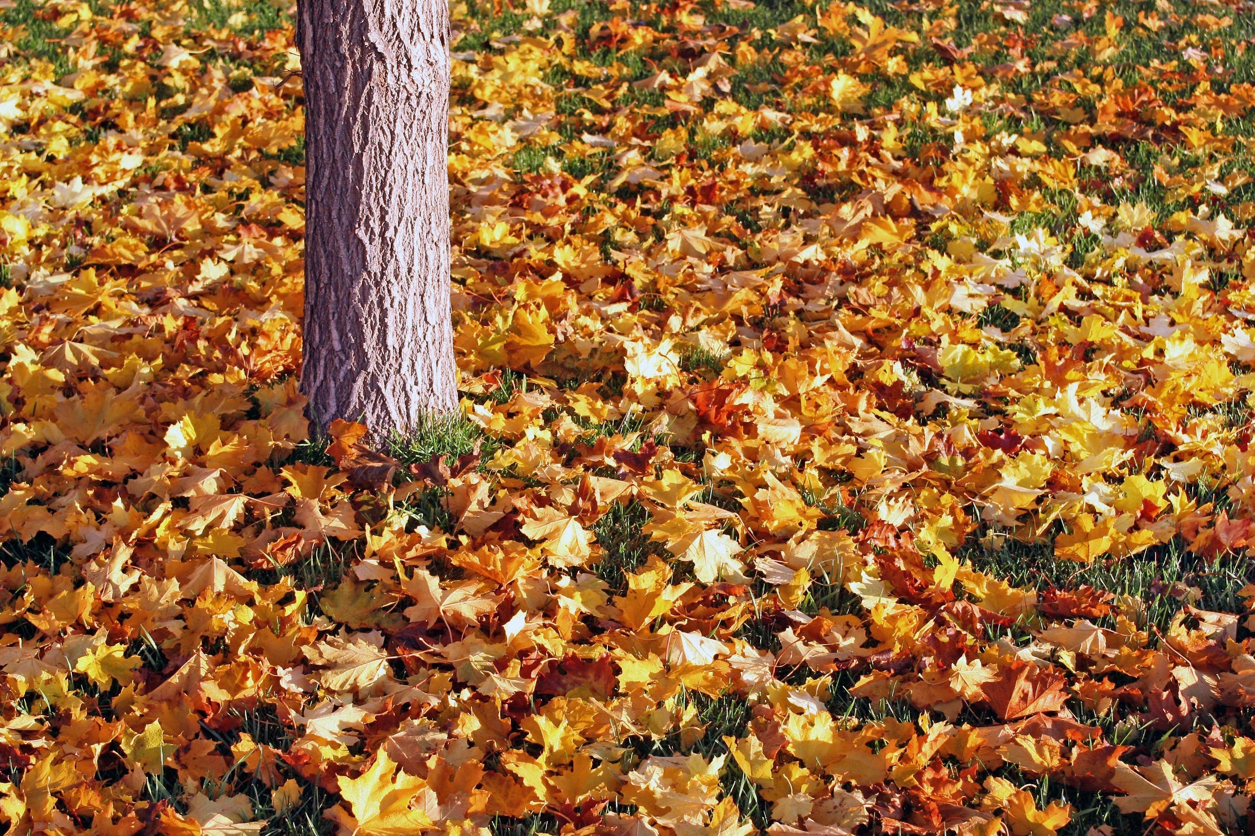 Colored Leaves Below a Grey Tree Trunk
