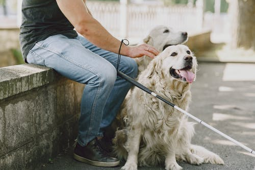 Person in Blue Denim Jeans Sitting Beside White Dogs