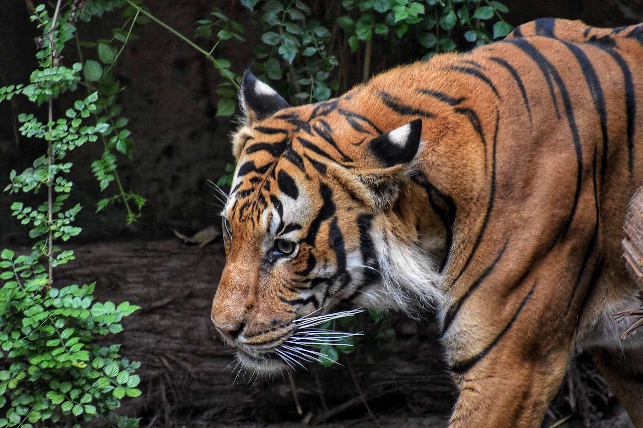 Brown and Black Tiger Beside Wood Log