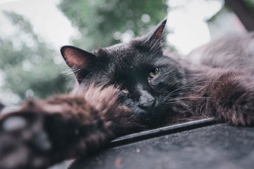 Black Cat Lying on Black Wooden Table
