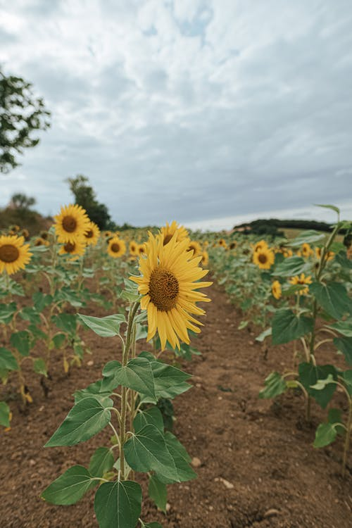 Rows of bright yellow sunflowers cultivated on agricultural field in countryside against cloudy sky