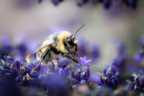 Black and Yellow Bee on Purple Flowers