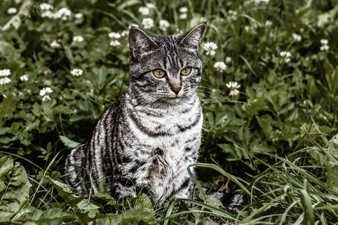 Silver Cat on Green Grasses
