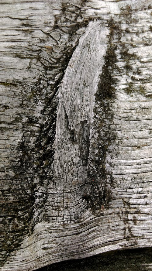 Closeup sun bleached bark of wood with gray rough texture and organic lichen