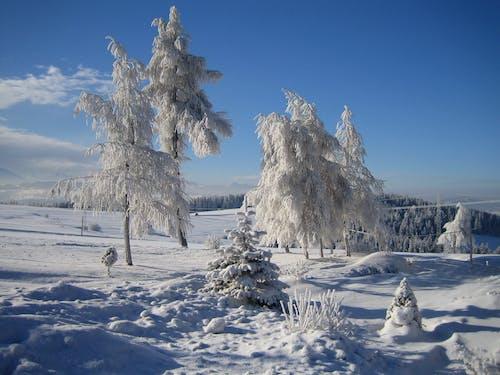 Photos gratuites de arbres, ciel bleu, couvert de neige