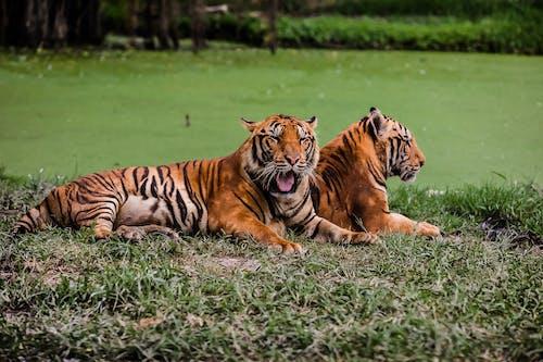 Tigers Lying on Green Grass