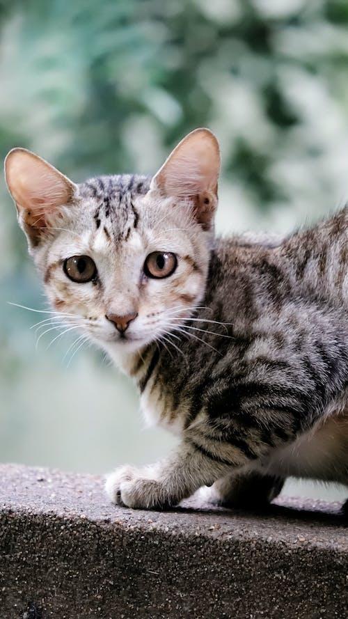 Ilmainen kuvapankkikuva tunnisteilla eläin, kissa, kissanpentu