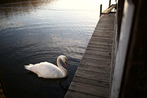 Fotobanka sbezplatnými fotkami na tému dok, jazierko, labuť, prechádzka po móle