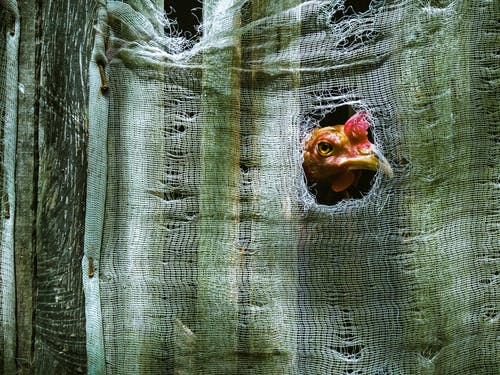 Chicken peeping through hole in tissue while standing near green fence covered with cloth in countryside in farmland in daylight