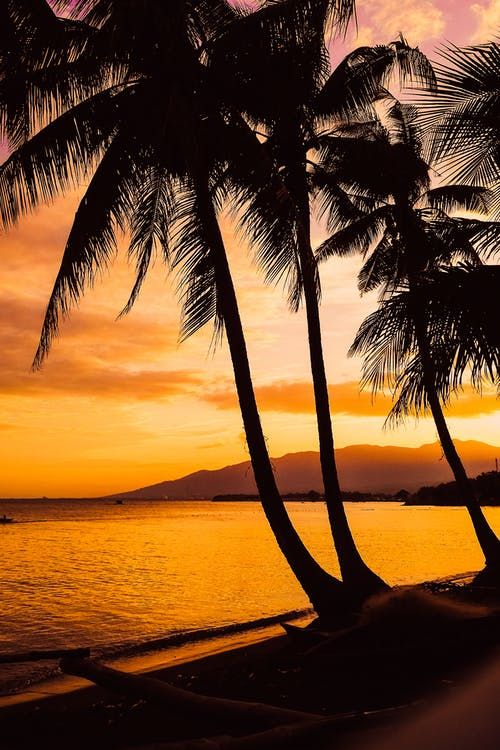 High palms growing on seashore near rippling ocean at sundown time in tropical resort with mountain in distance in summer