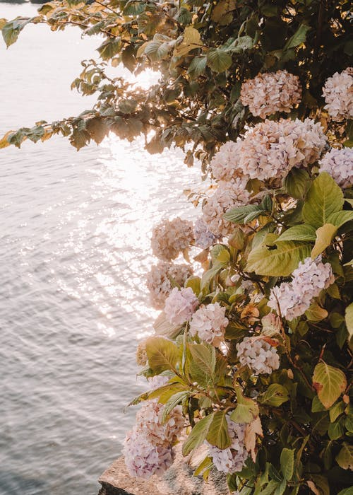 Scenery of fragrant lush hydrangea shrub blossoming above tranquil pond in countryside bright sunlight