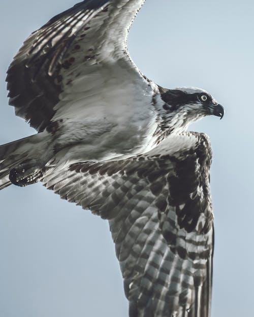 Бесплатное стоковое фото с скопа, хищная птица