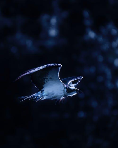 Бесплатное стоковое фото с блюз, скопа, хищная птица