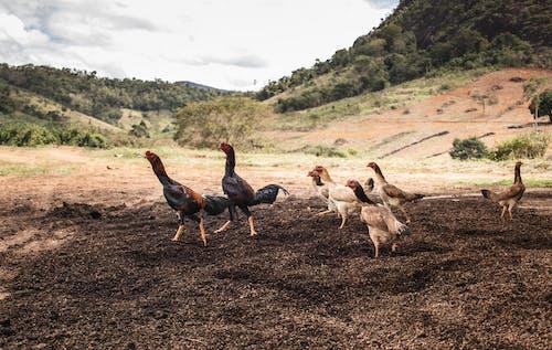 Fotobanka sbezplatnými fotkami na tému cicavec, dobytok, exteriéry, farma
