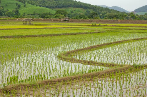 Photo of a Paddy field