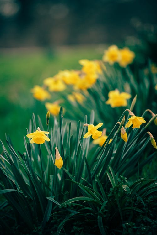 Yellow Daffodils in a Garden