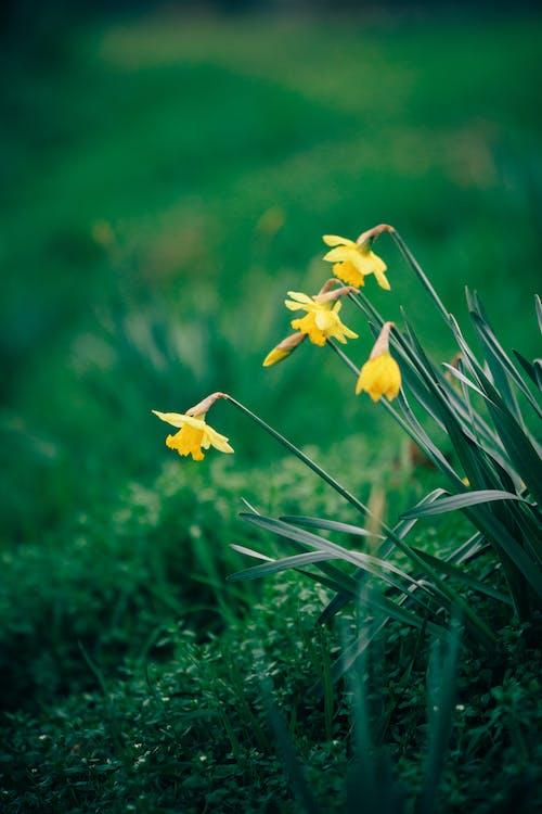 Photo of Yellow Daffodils