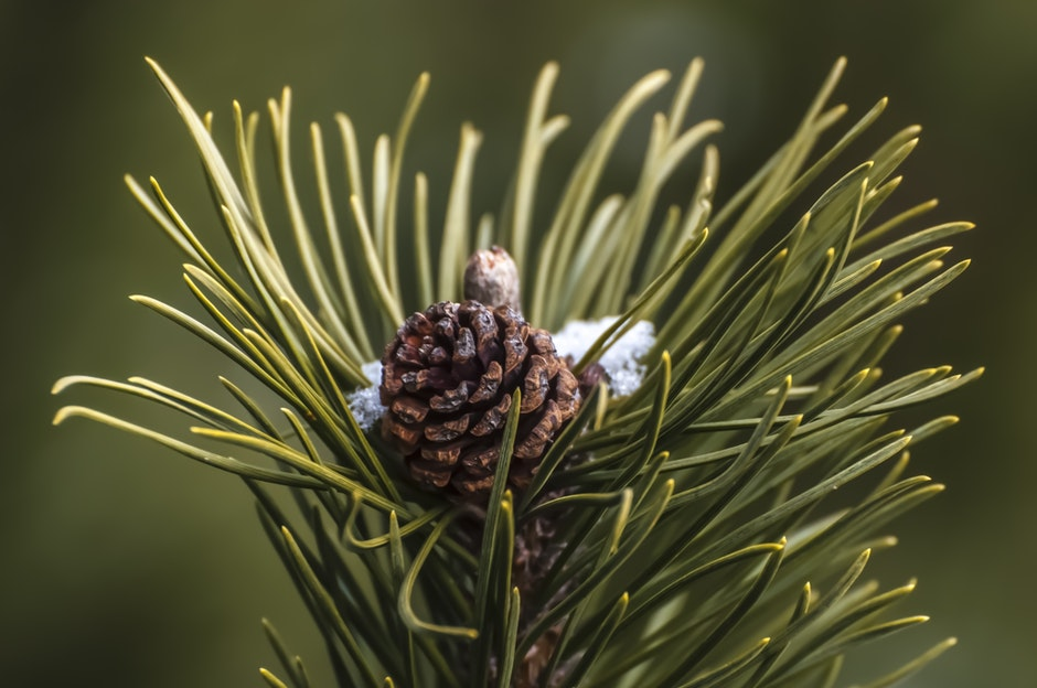 fir cone, pinecone