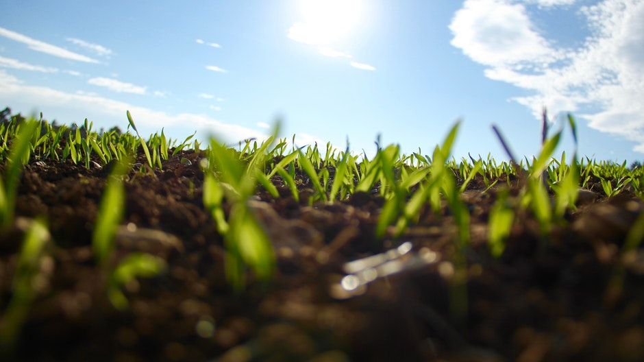buds, germinating, green