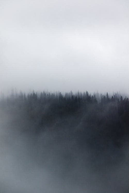 Fog over evergreen trees in forest