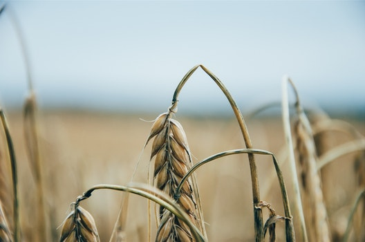 Free stock photo of farm, plants, fields, wheat