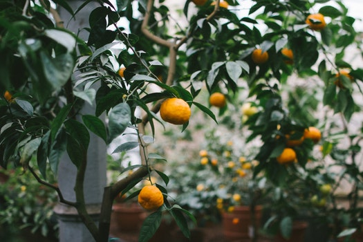 Free stock photo of trees, fruits, leaves, oranges