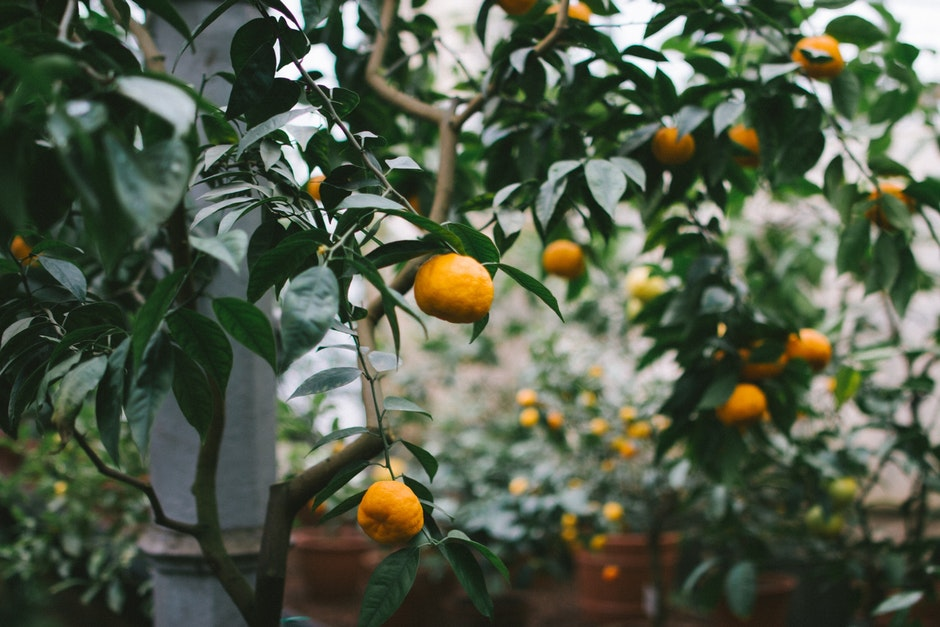fruits, leaves, oranges
