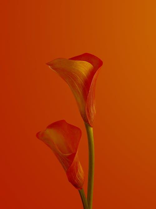 Immagine gratuita di arancia, arancione, bocciolo