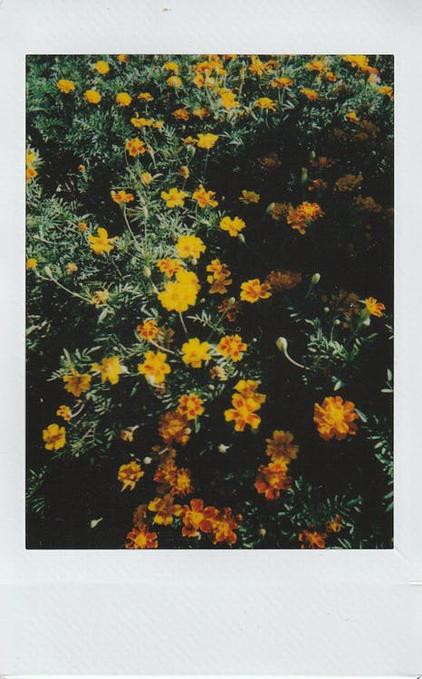Yellow Marigolds in Bloom